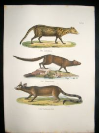 Schinz 1845 Antique Hand Col Print. Mongoose, Civet 19